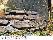 Купить «Грибы на дереве», фото № 1217478, снято 1 октября 2009 г. (c) Валерий Лифонтов / Фотобанк Лори