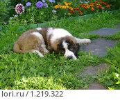 Сенбернар лежит на траве. Стоковое фото, фотограф Смирнов Денис / Фотобанк Лори