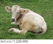 Купить «Корова», фото № 1226006, снято 20 августа 2009 г. (c) Иван / Фотобанк Лори