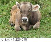 Корова на зеленой траве, фото № 1226018, снято 20 августа 2009 г. (c) Иван / Фотобанк Лори