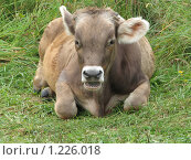 Купить «Корова на зеленой траве», фото № 1226018, снято 20 августа 2009 г. (c) Иван / Фотобанк Лори