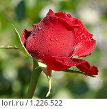 Красная роза с каплями дождя. Стоковое фото, фотограф Raulin / Фотобанк Лори