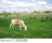 Купить «Корова в поле», фото № 1226650, снято 11 мая 2008 г. (c) Анастасия Некрасова / Фотобанк Лори