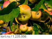 Яблоки. Стоковое фото, фотограф Кузнецов Сергей / Фотобанк Лори