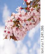 Купить «Цветущая ветвь сакуры», фото № 1241386, снято 10 мая 2009 г. (c) Александр Кузовлев / Фотобанк Лори