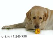 Собака. Стоковое фото, фотограф Дарья Колесникова / Фотобанк Лори