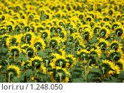 Купить «Поле подсолнухов», фото № 1248050, снято 16 сентября 2019 г. (c) Черников Роман / Фотобанк Лори