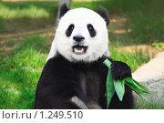 Большая панда с бамбуком (2009 год). Стоковое фото, фотограф Ольга Хорошунова / Фотобанк Лори