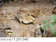 Купить «Цыплята миниатюрной породы», фото № 1251946, снято 22 августа 2009 г. (c) Анастасия Некрасова / Фотобанк Лори