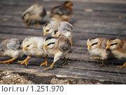 Купить «Дружно, цыплята миниатюрной породы», фото № 1251970, снято 22 августа 2009 г. (c) Анастасия Некрасова / Фотобанк Лори