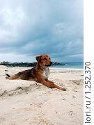 Собака на пляже. Стоковое фото, фотограф Иванка Иванка / Фотобанк Лори