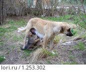 Купить «Сука кормит щенят», фото № 1253302, снято 26 марта 2008 г. (c) Олег Хархан / Фотобанк Лори