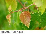 Купить «Весенние березовые листочки», фото № 1257138, снято 8 июня 2009 г. (c) Елена Ильина / Фотобанк Лори