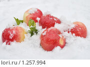 Яблоки в снегу. Стоковое фото, фотограф Павлова Елена / Фотобанк Лори