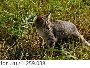 Дикий кот. Стоковое фото, фотограф Евгения Никифорова / Фотобанк Лори
