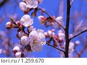 Купить «Цветение абрикоса», фото № 1259670, снято 24 апреля 2009 г. (c) Андрей Ижаковский / Фотобанк Лори