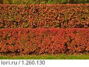 Купить «Кустарник с яркими листьями. Кизильник черноплодный (Cotoneaster melanocarpus)», фото № 1260130, снято 14 октября 2009 г. (c) Алёшина Оксана / Фотобанк Лори