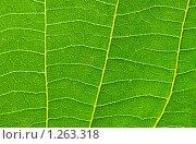 Купить «Зеленый лист, текстура», фото № 1263318, снято 28 июня 2008 г. (c) Elnur / Фотобанк Лори