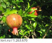 Плоды граната. Стоковое фото, фотограф Татьяна Емельянова / Фотобанк Лори