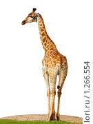 Купить «Жираф африканский, Giraffa cameleopardalis, Giraffe», фото № 1266554, снято 3 сентября 2009 г. (c) Василий Вишневский / Фотобанк Лори