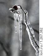 Купить «Сосулька на ветке шиповника», фото № 1267382, снято 18 ноября 2009 г. (c) Цветков Виталий / Фотобанк Лори
