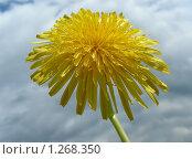 Купить «Одуванчик», эксклюзивное фото № 1268350, снято 20 мая 2009 г. (c) lana1501 / Фотобанк Лори