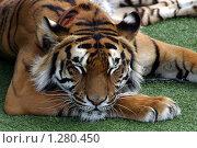 Купить «Тигр», фото № 1280450, снято 2 июня 2007 г. (c) Владимир Ременец / Фотобанк Лори