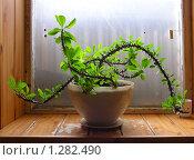 Купить «Молочай Euphorbia millii», эксклюзивное фото № 1282490, снято 15 июля 2009 г. (c) lana1501 / Фотобанк Лори