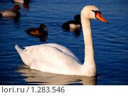 Лебедь. Стоковое фото, фотограф АЛЕКСЕЙ   ЧЕРНЫШЕВ / Фотобанк Лори