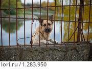 Купить «Грустная собака за забором», фото № 1283950, снято 10 октября 2009 г. (c) Филонова Ольга / Фотобанк Лори