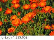 Купить «Календула», эксклюзивное фото № 1285002, снято 20 июля 2009 г. (c) lana1501 / Фотобанк Лори