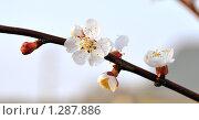 Купить «Ветка цветущей вишни», фото № 1287886, снято 28 апреля 2009 г. (c) Анна Маркова / Фотобанк Лори