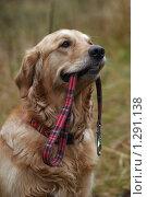 Собака держит в зубах поводок. Стоковое фото, фотограф Максим Ковшов / Фотобанк Лори