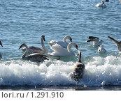 Лебеди. Стоковое фото, фотограф Оксана Кулиненко / Фотобанк Лори
