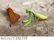 Купить «Зеленый богомол», фото № 1292110, снято 24 октября 2009 г. (c) Андрей Ижаковский / Фотобанк Лори