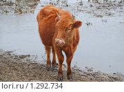 Корова около воды. Стоковое фото, фотограф Алёшина Оксана / Фотобанк Лори