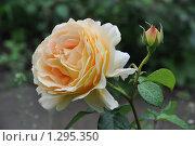 Роза. Стоковое фото, фотограф Panitchkina Natalia / Фотобанк Лори
