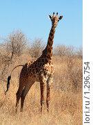 Молодой жираф в саванне. Стоковое фото, фотограф Димитрий Сухов / Фотобанк Лори