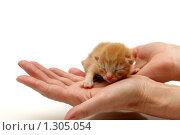 Купить «Новорожденный рыжий котенок на ладонях», фото № 1305054, снято 23 ноября 2009 г. (c) Евгений Дубинчук / Фотобанк Лори
