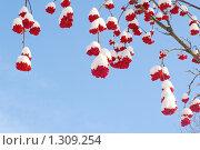 Купить «Заснеженные ягоды рябины», фото № 1309254, снято 7 декабря 2009 г. (c) Галина Хорошман / Фотобанк Лори