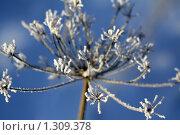 Растение, покрытое снегом. Стоковое фото, фотограф Яковлева Наталья / Фотобанк Лори