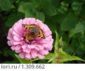 Бабочка крапивница на розовом цветке циннии. Стоковое фото, фотограф Нина Солнцева / Фотобанк Лори