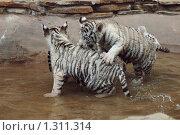Купить «Детеныши белого тигра», фото № 1311314, снято 21 июня 2008 г. (c) Денис Ларкин / Фотобанк Лори