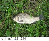 Рыба на траве, карась. Стоковое фото, фотограф Роман Зацаринин / Фотобанк Лори