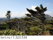Купить «Причудливая горная ель с ветвями растущими в одну сторону», фото № 1323534, снято 22 августа 2008 г. (c) BELY / Фотобанк Лори
