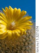 Цветок кактуса Parodia mutabilis. Стоковое фото, фотограф Михаил Тимонин / Фотобанк Лори