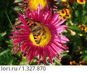 Бабочка крапивница на розовом цветке астры. Стоковое фото, фотограф Нина Солнцева / Фотобанк Лори