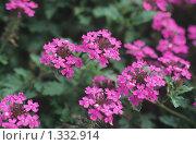 Купить «Тёмно-розовая садовая вербена», фото № 1332914, снято 17 января 2019 г. (c) Александр Курлович / Фотобанк Лори