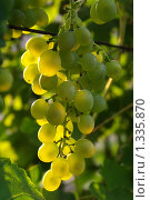 Купить «Виноград сорта Ананасный ранний», фото № 1335870, снято 13 августа 2009 г. (c) Евгений Кирюхин / Фотобанк Лори