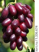Купить «Сорт винограда Изюминка», фото № 1336674, снято 5 сентября 2009 г. (c) Евгений Кирюхин / Фотобанк Лори